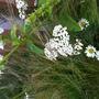 Achillea Summer Pastels - White (Achillea Summer Pastels)