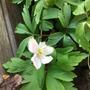 Anemone Nemerosa (Anemone nemorosa Alba)