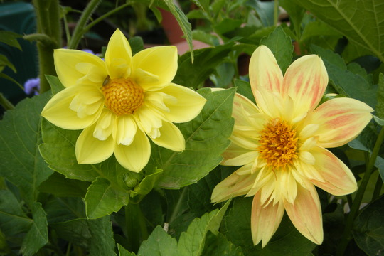 A Couple (Dahlia Pinnata (Dahlia))
