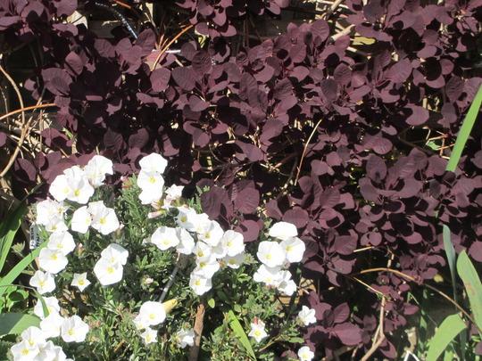 White and Purple (Convolvulus cneorum (Silverbush))