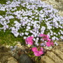 Pale blue Phlox subulata with pink Lewisia