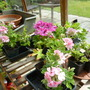 Pelargoniums in the greenhouse (from cuttings)