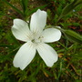 White Corncockle