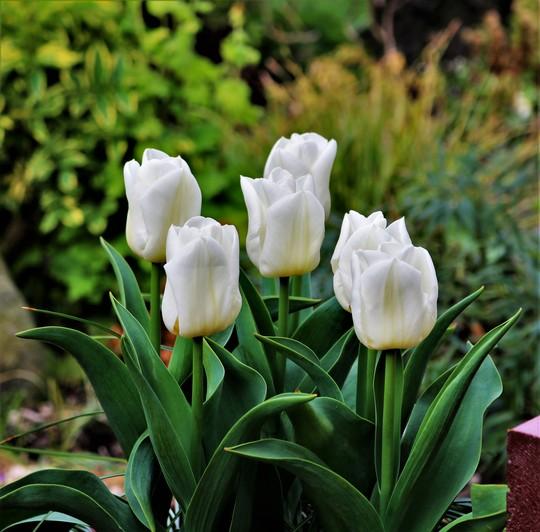 White Tulips 'Purissima'