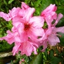 Rhododendron_pink_pearl