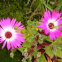 Livingstone Daisy