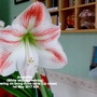 Amaryllis (White with red veining) flowering on living room table Up close 1st May 2017 008 (Amaryllis)