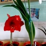 Amaryllis (Pure red #4 & White with red veining) flowering on living room table 1st May 2017 006 (Amaryllis Hippeastrum)