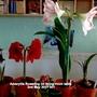 Amaryllis flowering on living room table 2nd May 2017 001 (Amaryllis Hippeastrum)