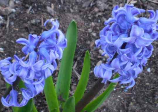 Large Hyacinth