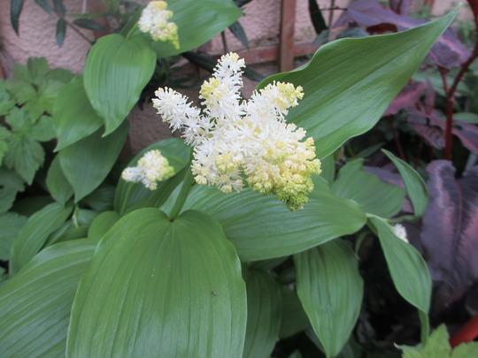 Another Woodlander, Maianthemum racemosum (Maianthemum racemosum)