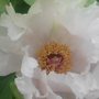 Centre of white Tree Peony for Gnarly gnome