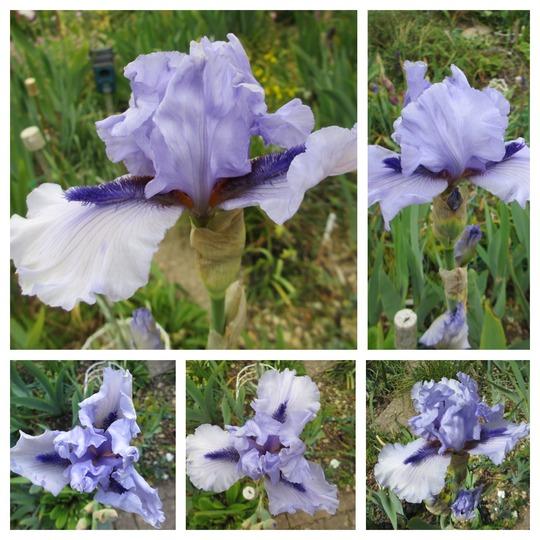Tall Bearded Space Age Iris 'Alien Mist' (Iris germanica (Orris))