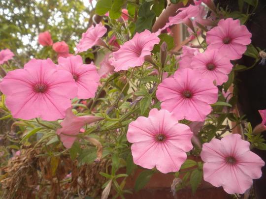 Pink Wave Petunias (Pink Wave Petunias)