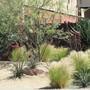 Hesperaloe parviflora (Red Flowered Yucca)