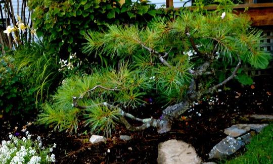 White Pine dwarf