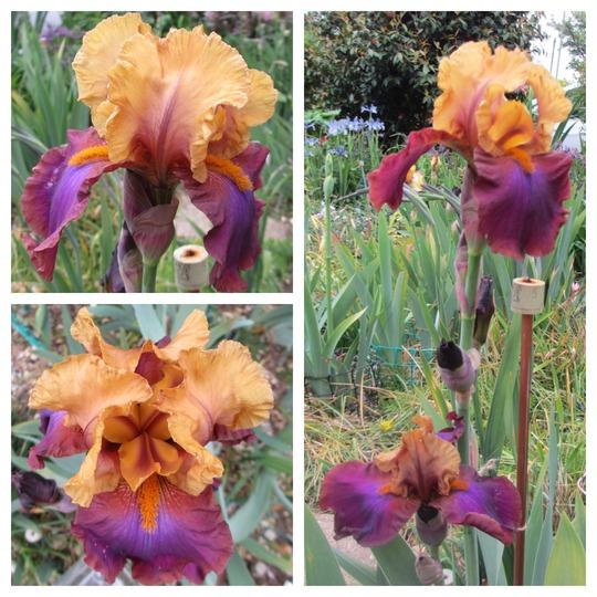 Bearded Iris 'Gala Madrid' (For my File) (Iris germanica (Orris))