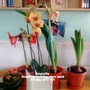 Amaryllis flowering on living room table 7th May 2017 001 (orchid)