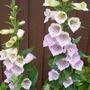 Foxglove Camelot Lavender (Digitalis)