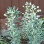 Euphorbia Characias, Silver Swan (Euphorbia Characias)