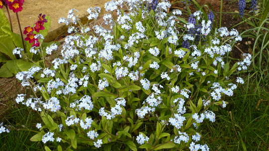 Forget Me not (Myosotis)