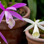 Pleione formosana alba (right) (Pleione)