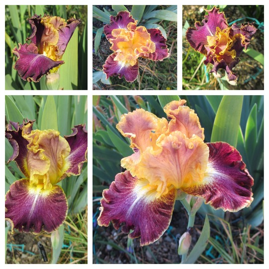 Tall Bearded Iris 'High Master' (For my File) (Iris germanica (Orris))
