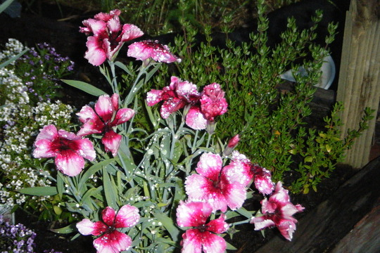 Wet Dainthus (Dianthus chinensis (strawberry parfait))