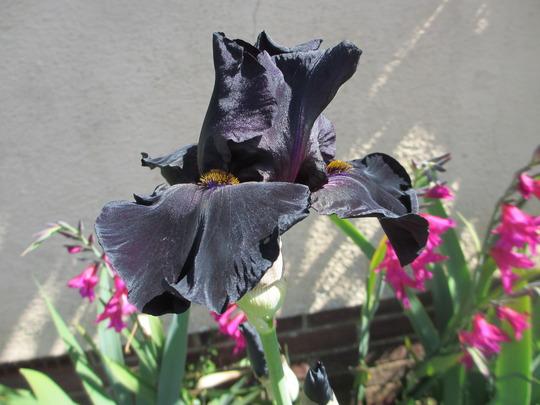 Black Tall bearded Iris (For my File) (Iris germanica (Orris))