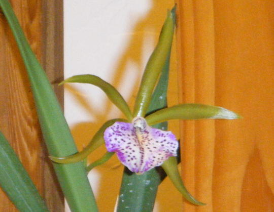 Extreme Zoom (Brassavola nodosa (Lady Of The Night))
