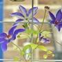 Clematis 'Arabella' (Clematis armandii)