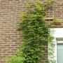 Wisteria (Wisteria sinensis (Chinese wisteria))