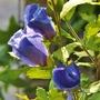 Hibiscus 'Oiseau Bleu' (Hibiscus syriacus (Gurhul))