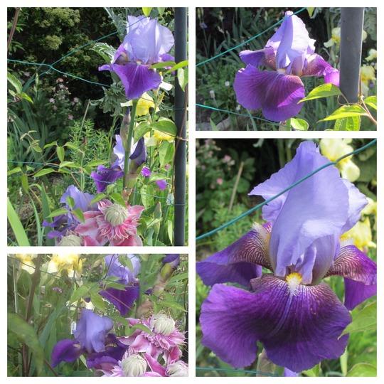 Lilac and Purple Iris (Tall Bearded Iris)