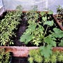 Courgettes etc. in the green house (Bassia scoparia)