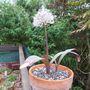 Allium karatviense (Allium karataviense)