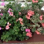 Pelargoniums in our porch.
