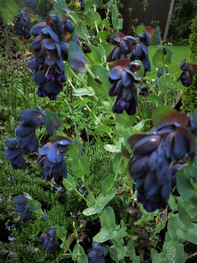Cerinthe Honeywort. (Cerinth Honeywort.)