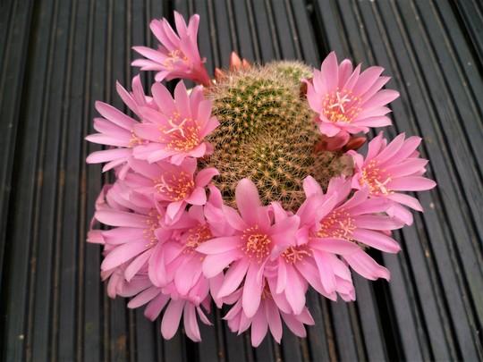Cactus. (Cactus.)