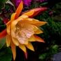 Epiphyllum William Clark. (Epipyhllum)
