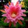 Epiphyllum American Sweetheart. (Epiphyllum.)