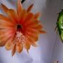 Epipyhllum King Midas. (Epiphyllum.)
