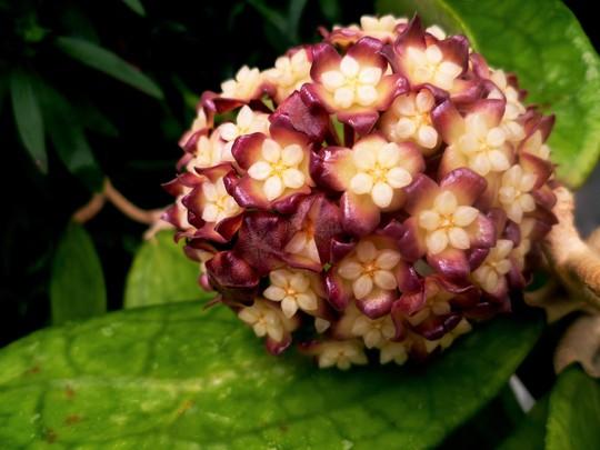 Hoya cv Jenifer. (Hoya.)