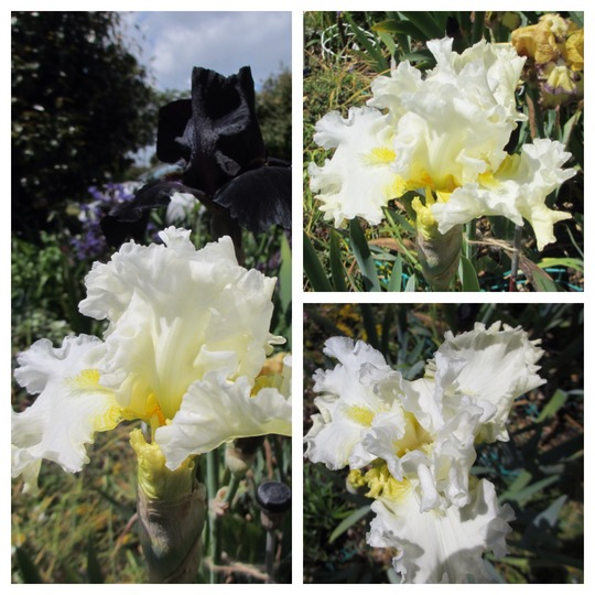 Tall Bearded Iris TM White Poodle (For my File) (Iris germanica (Orris))
