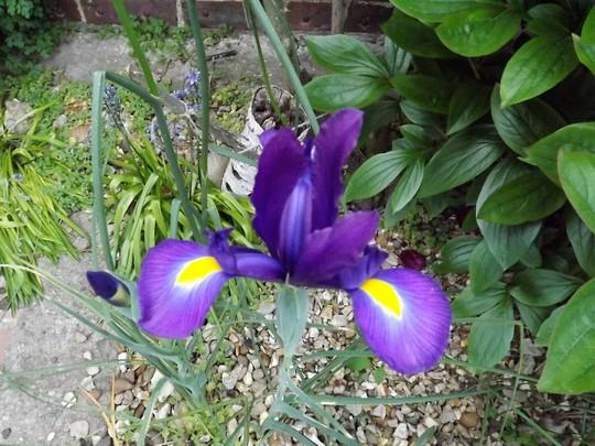 Iris (name unknown)