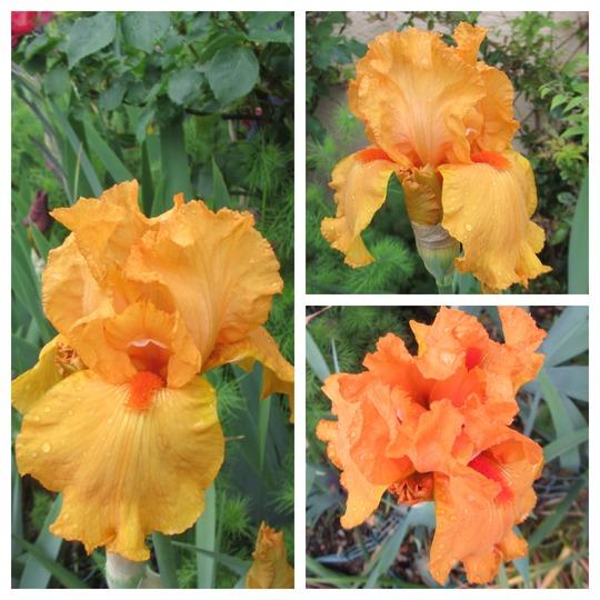 Tall Bearded Iris 'Marcel Turbat' (For my File) (Iris germanica (Orris))