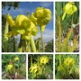 Sarracenia flava (Sarracenia flava (Yellow Pitcher Plant))