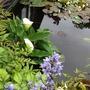Zantedeschia aethiopica (Arum lily)