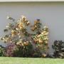 Abutilon 1. (Abutilon vitifolium (Abutilon))