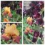 Tall Bearded Iris.  Rusty Red (Iris)